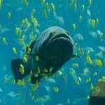 Giant_Grouper